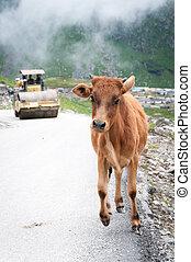 Calf runs away from roller compactor - Frightened calf runs ...