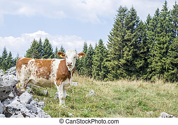 Calf standing on a pasture and looking at camera