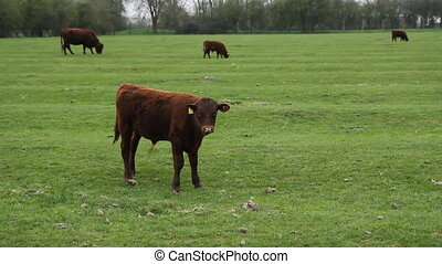 Calf. - Calf in field with cows in the background....