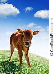 calf - small calf on green field