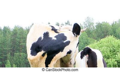 Calf sucks milk from the cow