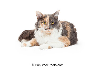 A beautiful Calico Domestic Longhair Cat laying at an angle while looking forward.