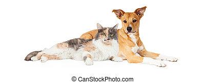 calico, hund, gul kat