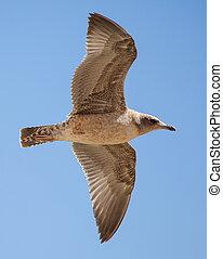 califórnia, imaturo, voando, gaivota