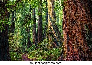 califórnia, redwood, rastro