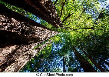 californië, redwood, (sequoia, sempervirens)