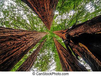 californië, sequoia, bomen