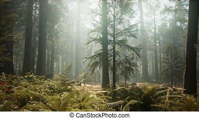 californië zonsondergang, reus, bos, park, sequoia, ...