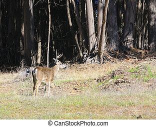 Blacktail buck - California Blacktail buck - cervus hemionus...
