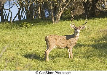 Blacktail buck - California Blacktail buck watching for ...