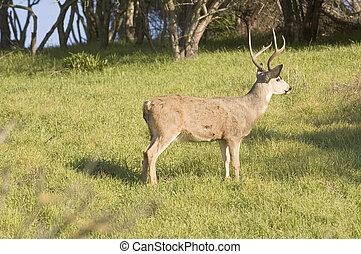 Blacktail buck - California Blacktail buck watching intetly ...