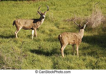 Blacktail bucks - California Blacktail bucks at sunset on ...
