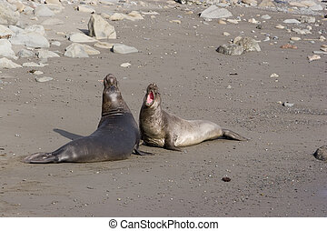 California Elephant Seals brawl to dominate coastal...
