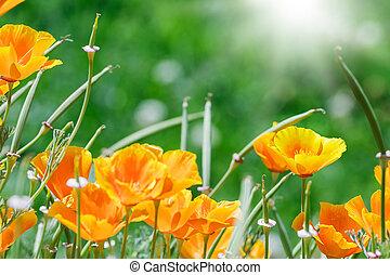 California golden poppies in the garden