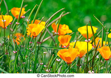 California golden poppies in the garden