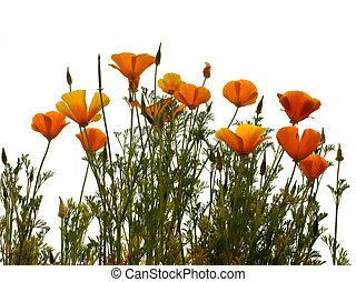 california golden poppy isolated on wihite background