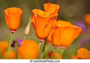 California Golden State Poppy