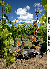 Spring Green California Old Vine Grape Plants with Orange Lichen under White Clouds and Blue Sky