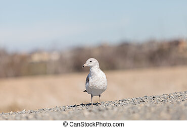 California Gull Larus californicus