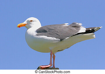 California Gull on a post by the Pacific Ocean