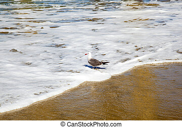 california gull walking at the beach