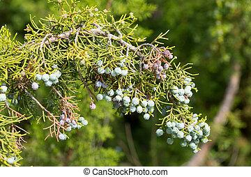 California juniper fruits