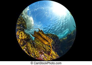 California Kelp Bed fisheye perspective