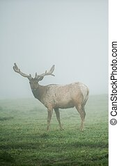 California Mule Deer in Fog. Foggy Meadow of the Point Reyes National Seashore