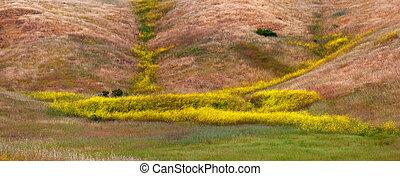 California Mustard Bloom