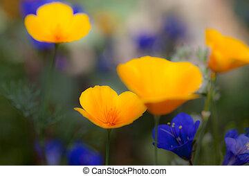 Wildflowers Growing in the Sonoran Desert, poppies and Desert Bluebelles