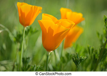 California Orange Poppy