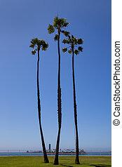 California palm trees on blue sky near long beach -...