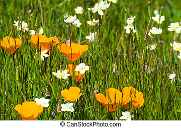 California poppies (Eschscholzia californica) and Cream Cups (Platystemon californicus) wildflowers blooming on a meadow in south San Francisco bay area in springtime