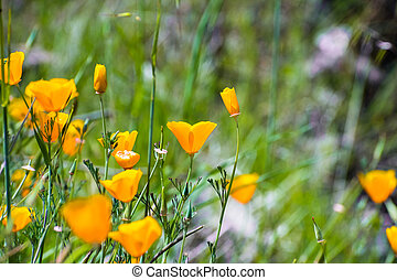 California poppies (Eschscholzia californica) blooming on the hills of south San Francisco bay area in springtime