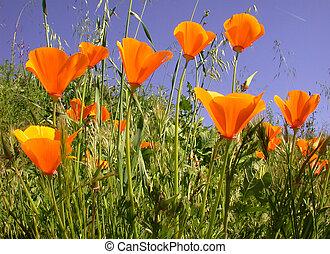california poppies against blue sky, Eschscholzia californica