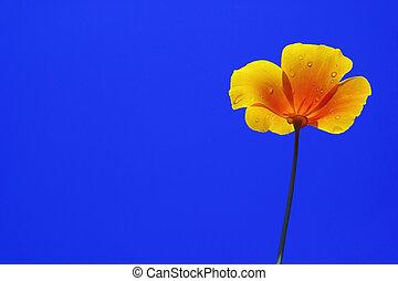 California poppy 02