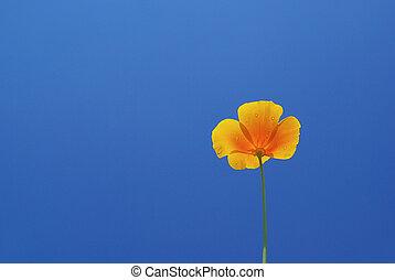 California poppy 08