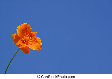 California poppy 12