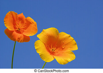 California poppy 13