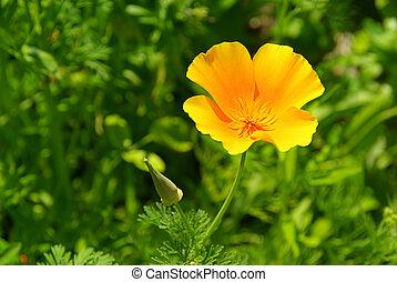 California poppy 16