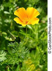 California poppy 17