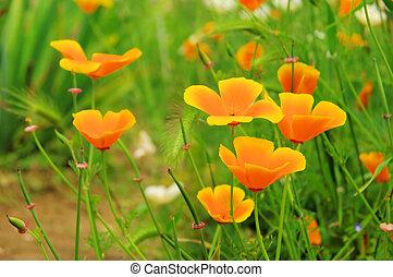 California poppy 18