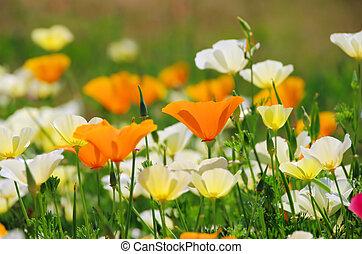 California poppy 19