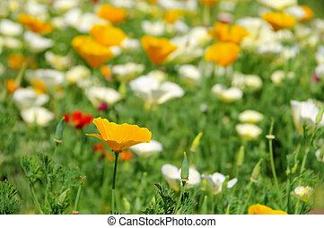 California poppy 23