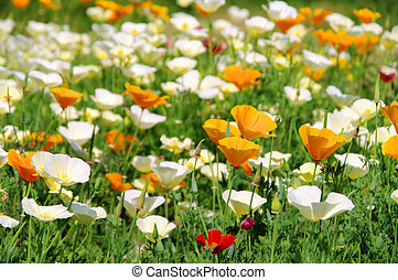 California poppy 24