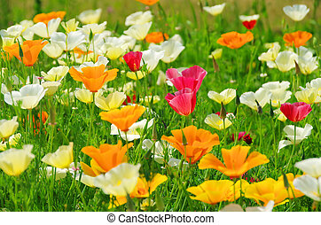 California poppy 25
