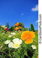 California poppy 30