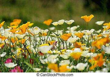 California poppy 31