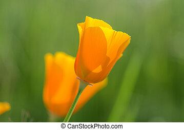 California Poppy Close Up