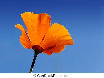 California poppy (Eschscholzia californica) with blue sky background